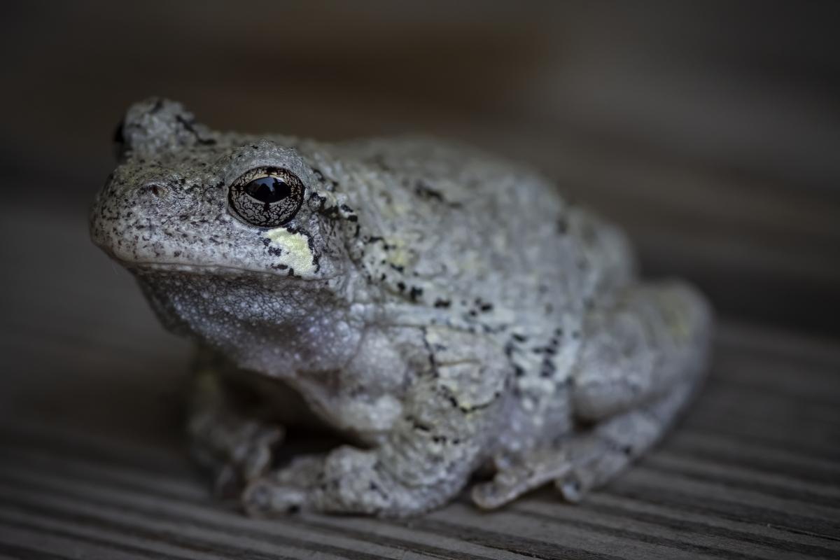 Polite Frog